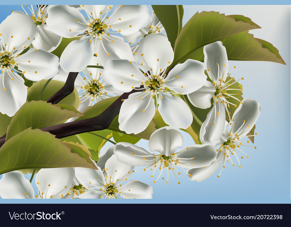 Cherry flowers branch close up realistic