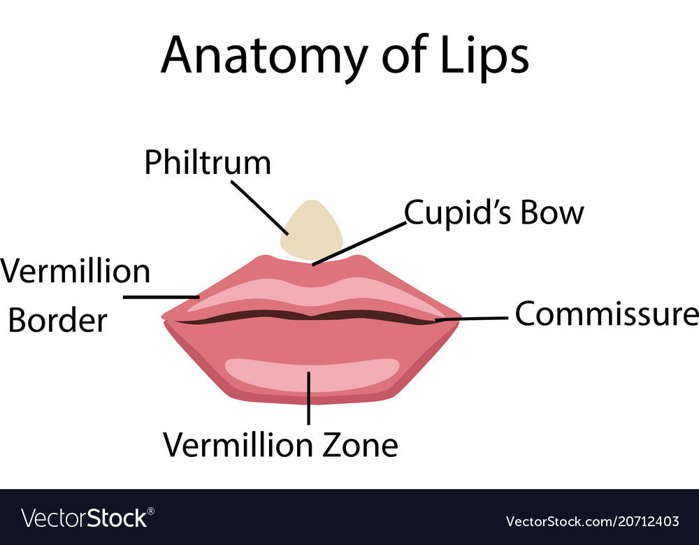Upper & Lip Vector Images (59)