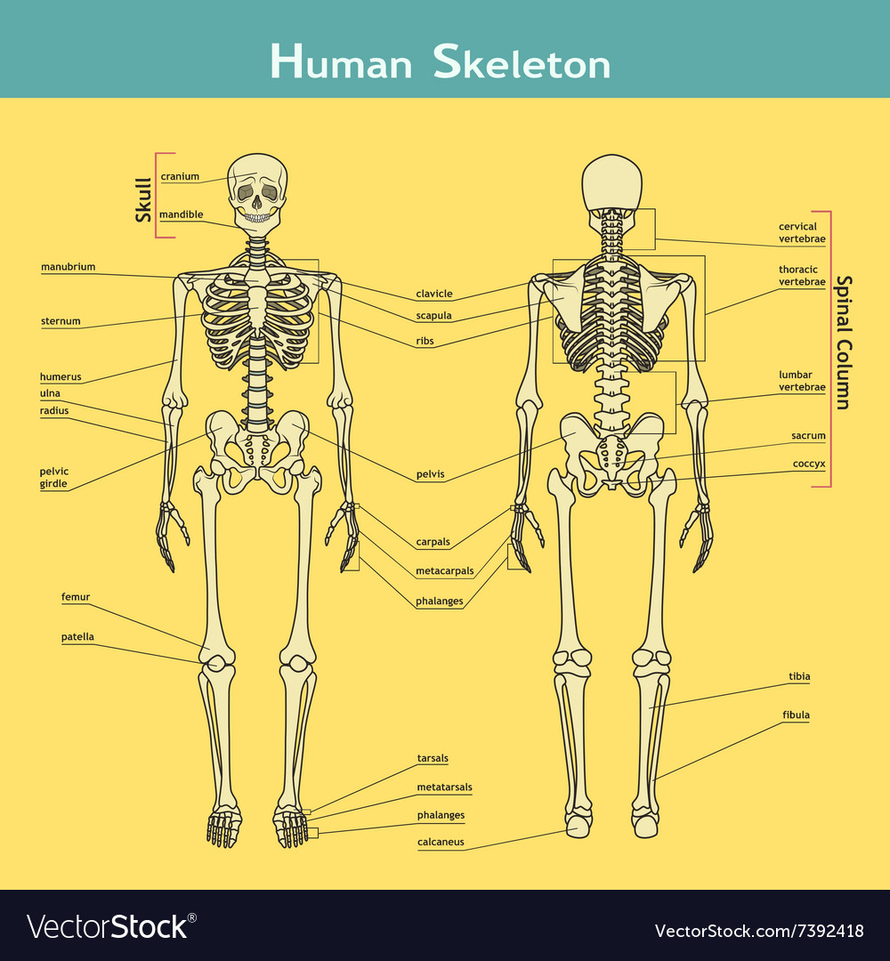 Human skeleton front and rear view with royalty free vector human skeleton front and rear view with vector image ccuart Image collections