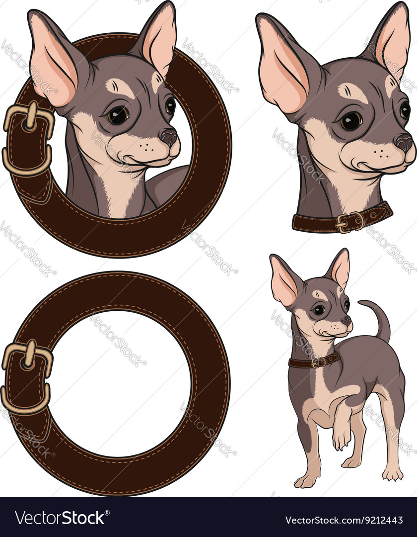 Color with chihuahua in a collar