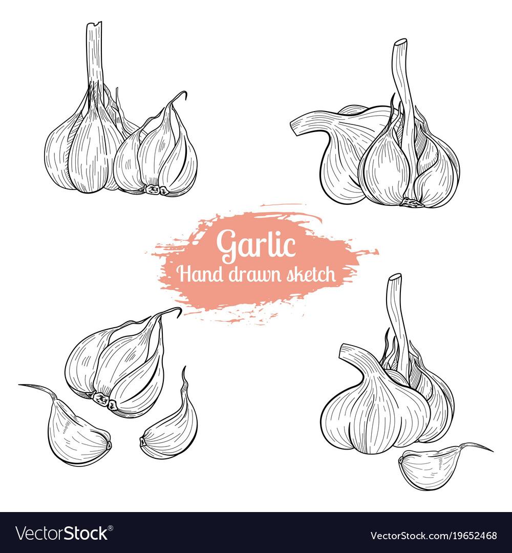 Hand drawn sketch garlic food