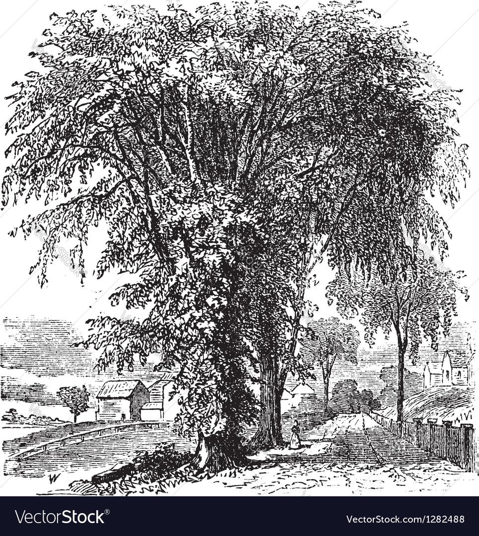American elm vintage engraving vector image