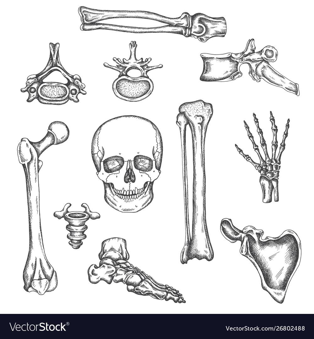 Human skeleton bones and joints sketch