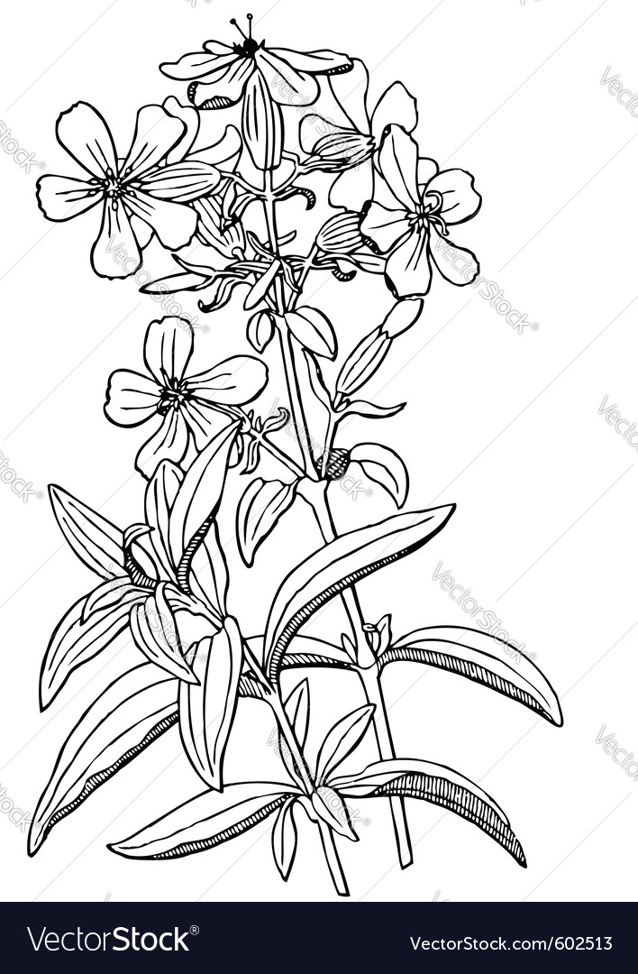 Plant saponaria officinalis