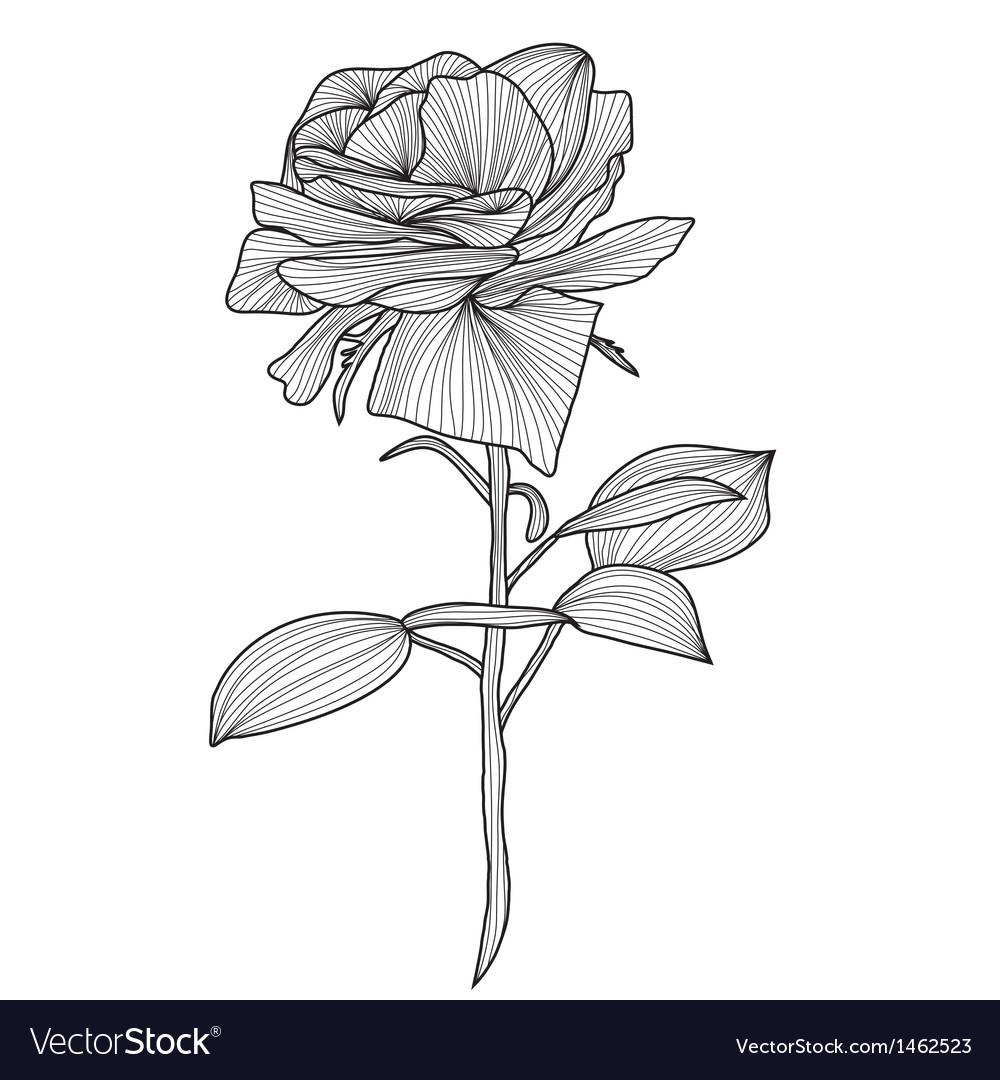 hand drawn rose royalty free vector image vectorstock