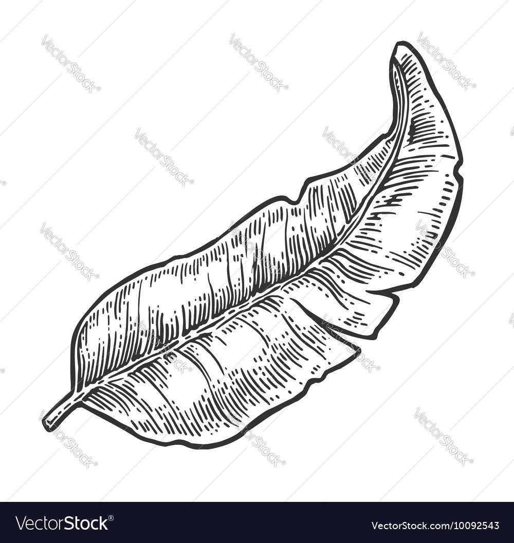 Leaf banana black vintage engraving vector image