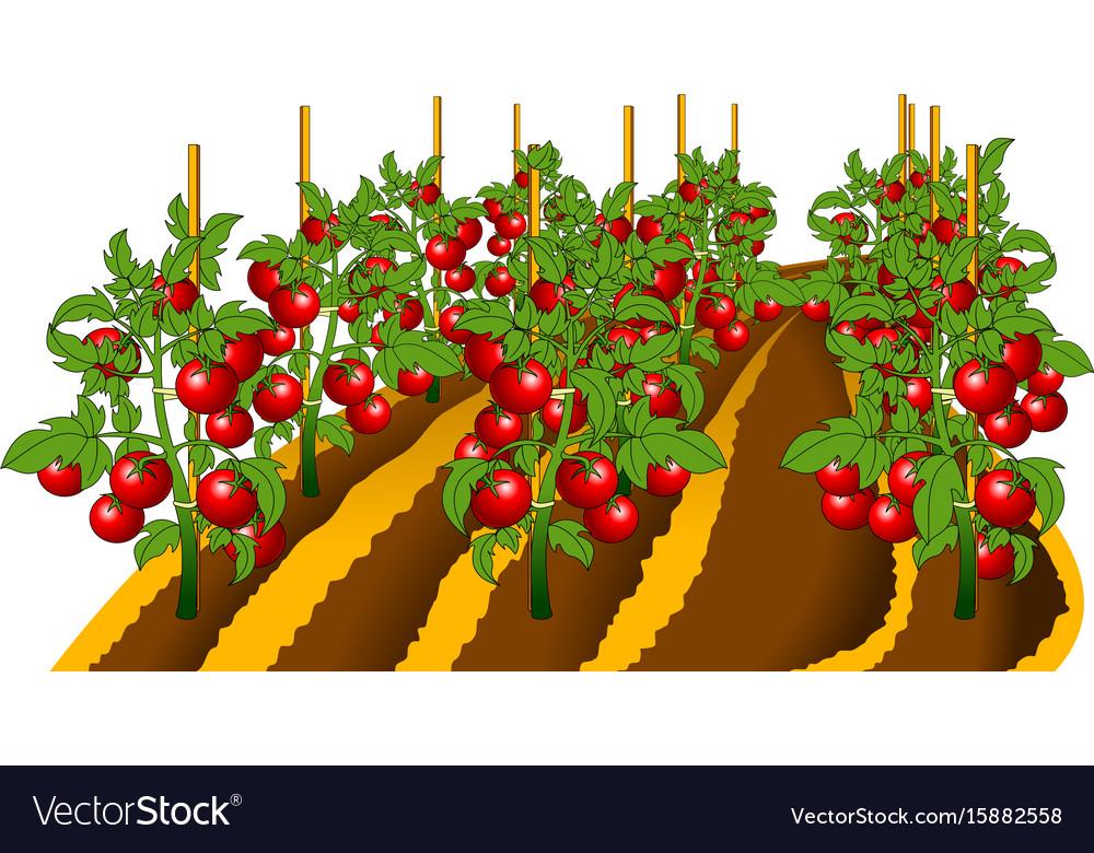 Tomato plant Royalty Free Vector Image - VectorStock
