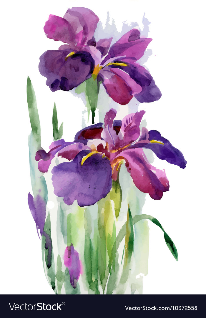 Watercolor Blooming Iris Flowers Royalty Free Vector Image