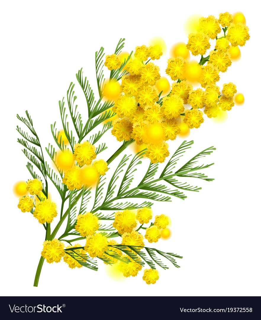 Yellow mimosa flower branch symbol of spring vector image mightylinksfo