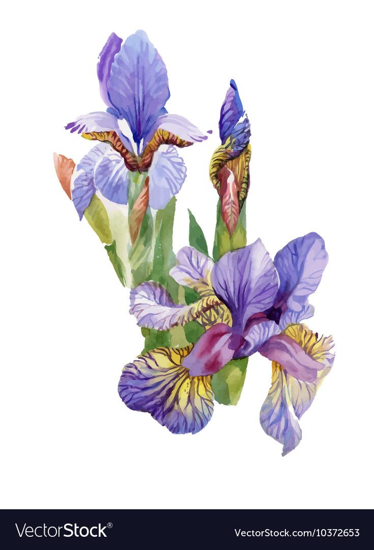 Watercolor blooming iris flowers royalty free vector image watercolor blooming iris flowers vector image izmirmasajfo