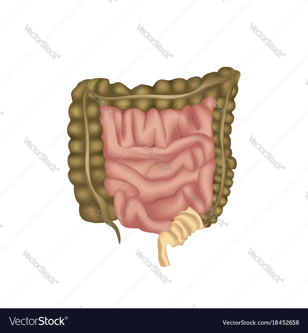 Large Intestine Human Anatomy Of Digestive Organs Vector Image