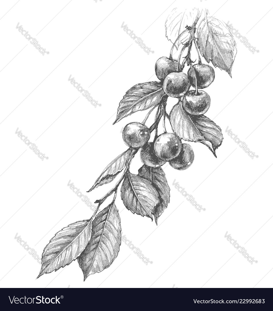 Cherry branch pencil drawing