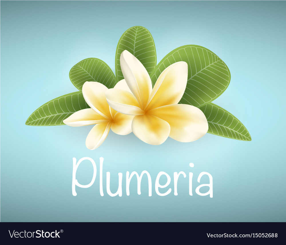 White And Yellow Plumeria Flower Royalty Free Vector Image