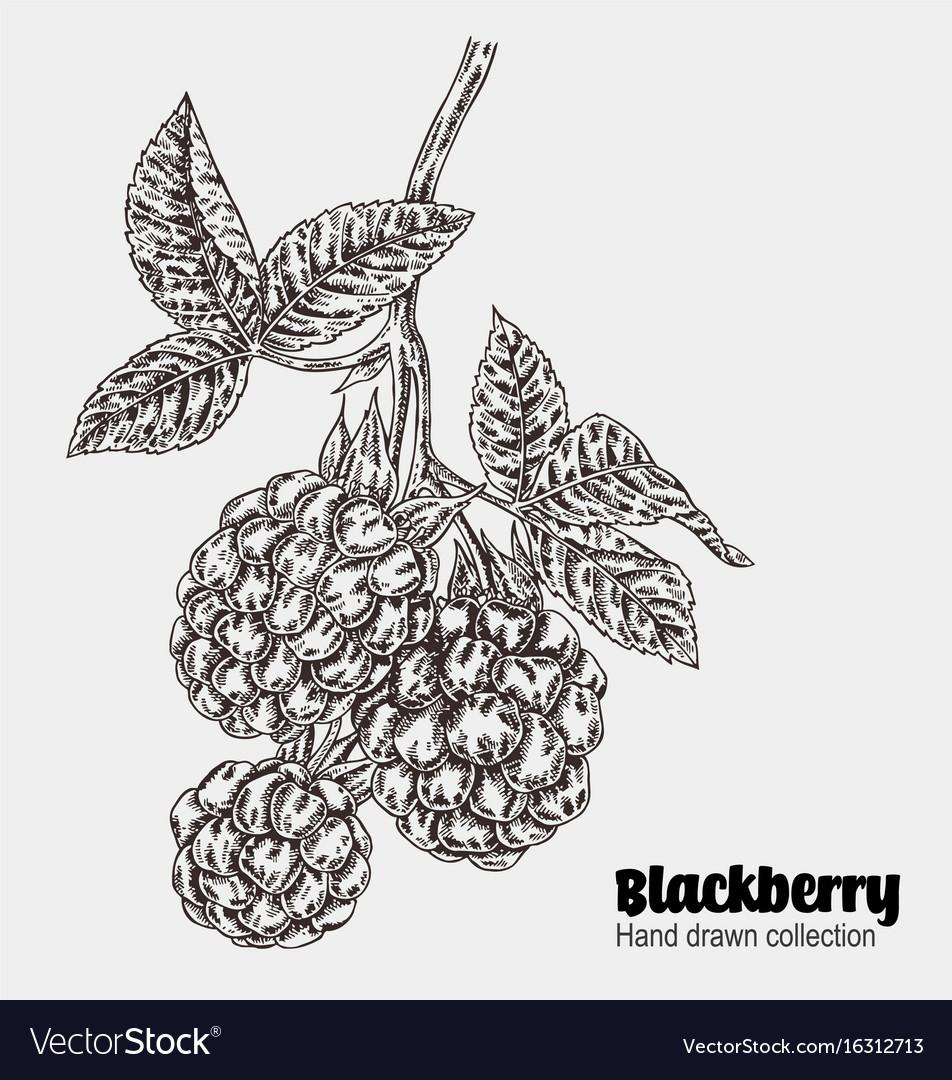 Sketchy blackberry branch hand drawn berries