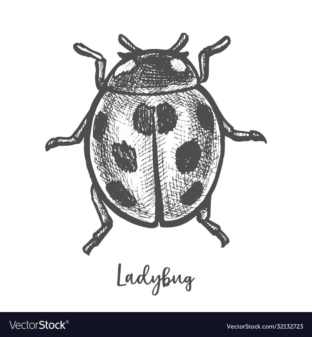 Sketch ladybug insect hand drawn ladybird