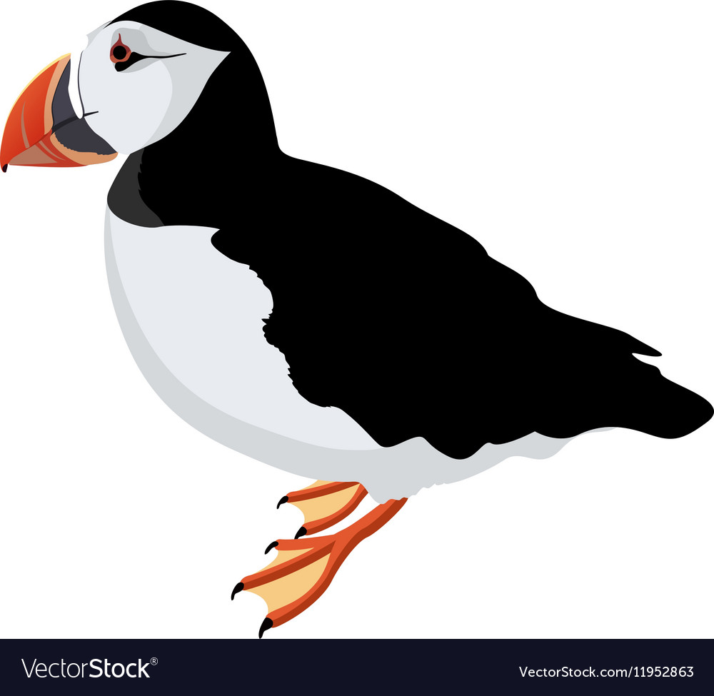 Atlantic puffin bird detalised on white background