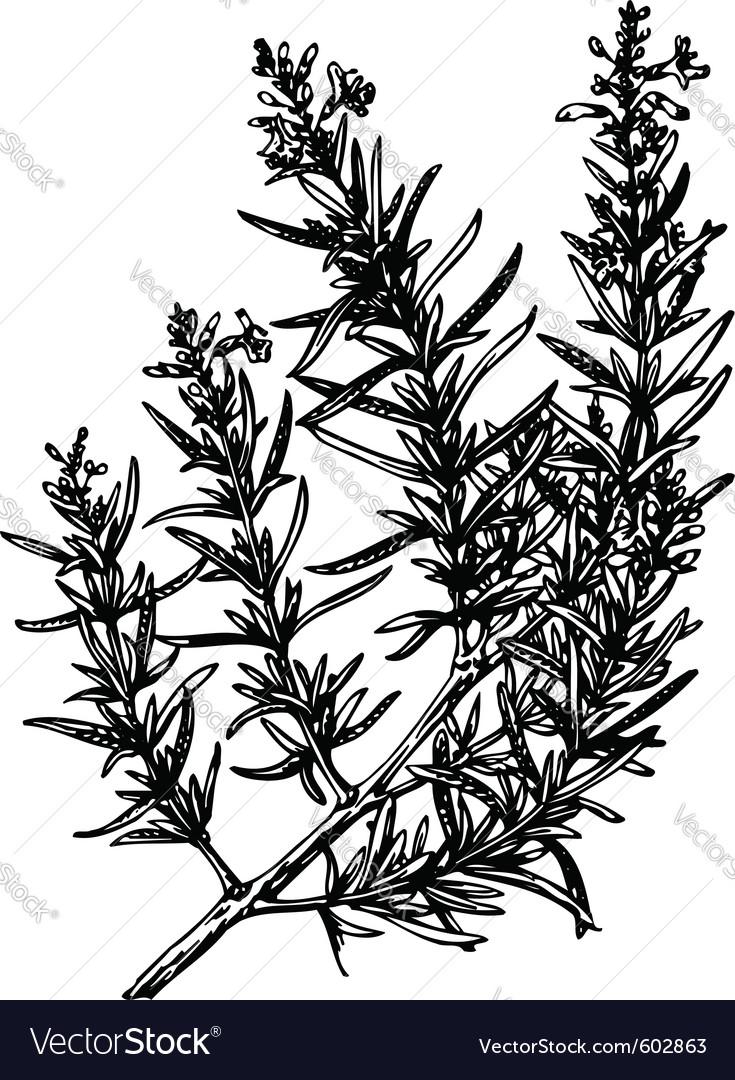 Plant rosmarinus