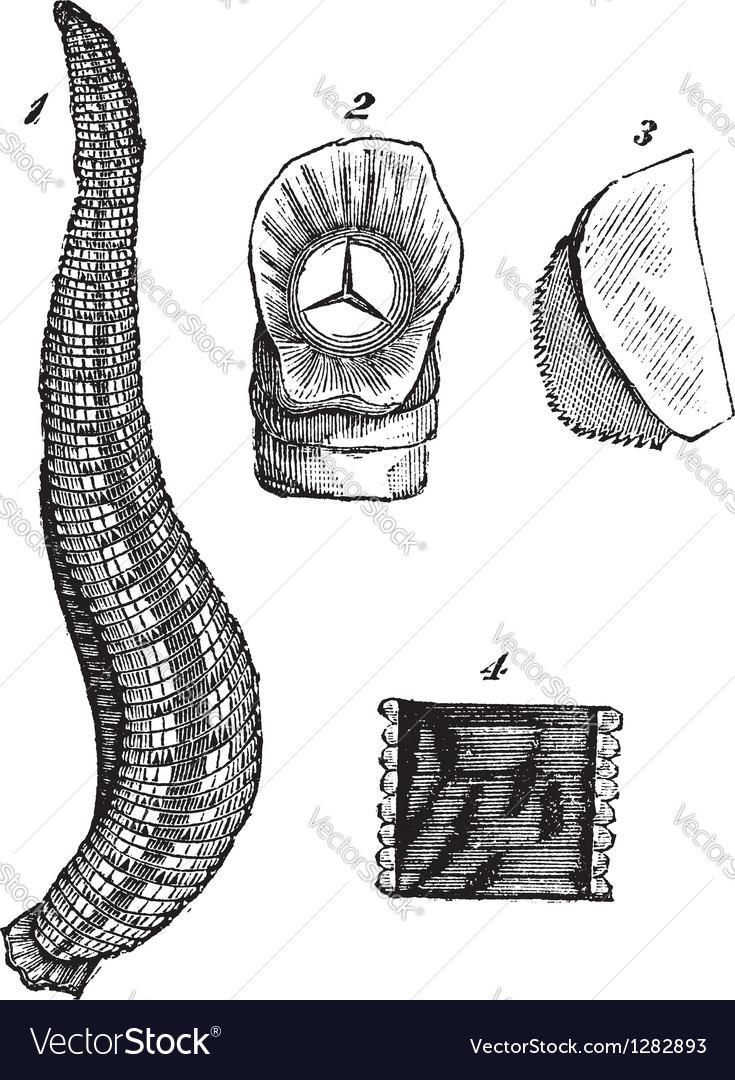 medicinal leech vintage sketch royalty free vector image