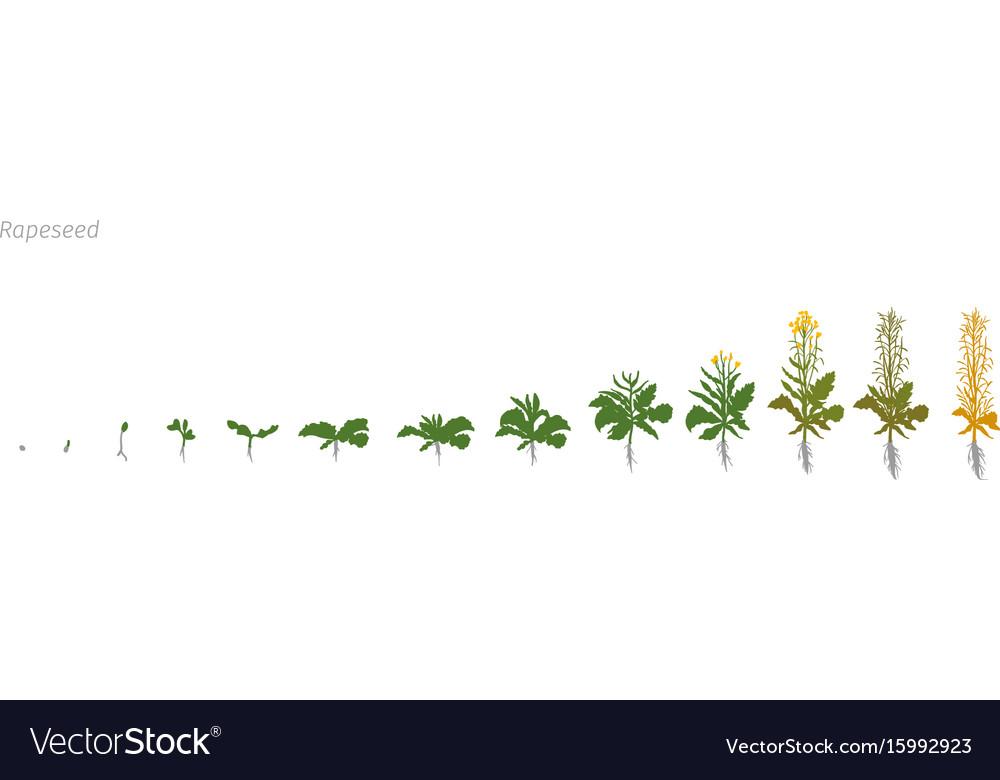 Rapeseed brassica napus oilseed rape growth stages