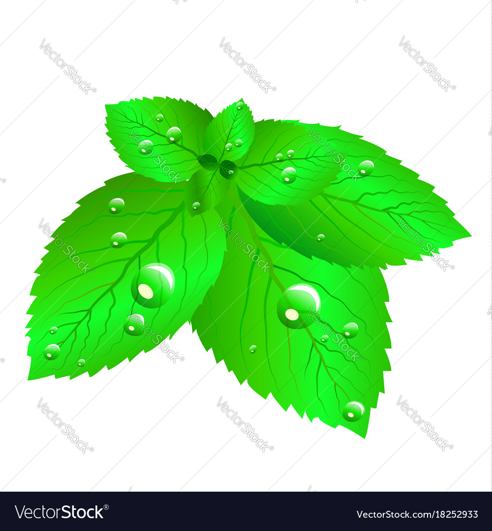 Mint leaves fresh vector image
