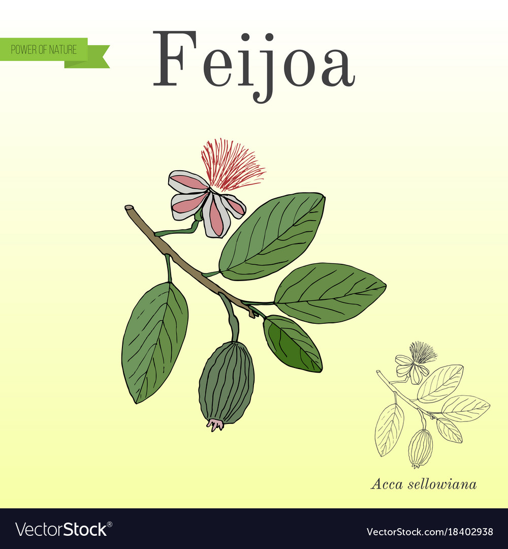 Feijoa Acca Sellowiana Or Pineapple Guava And Vector Image