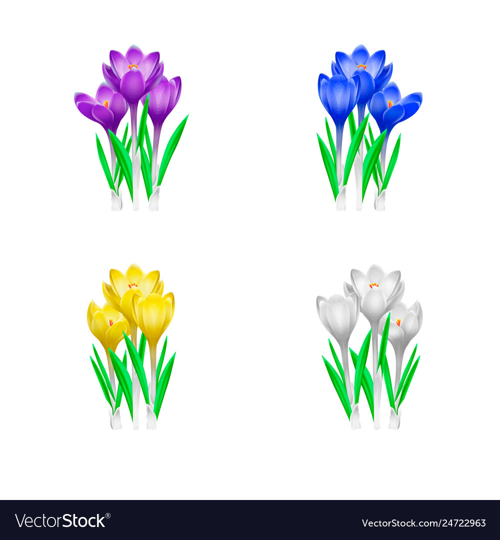 High detailed of crocuses flowers in