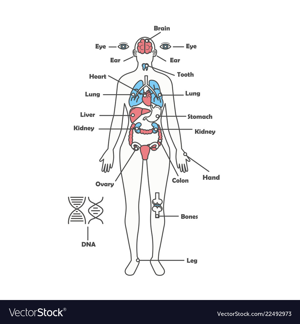 Female Human Anatomy Body Internal Organs Vector Image