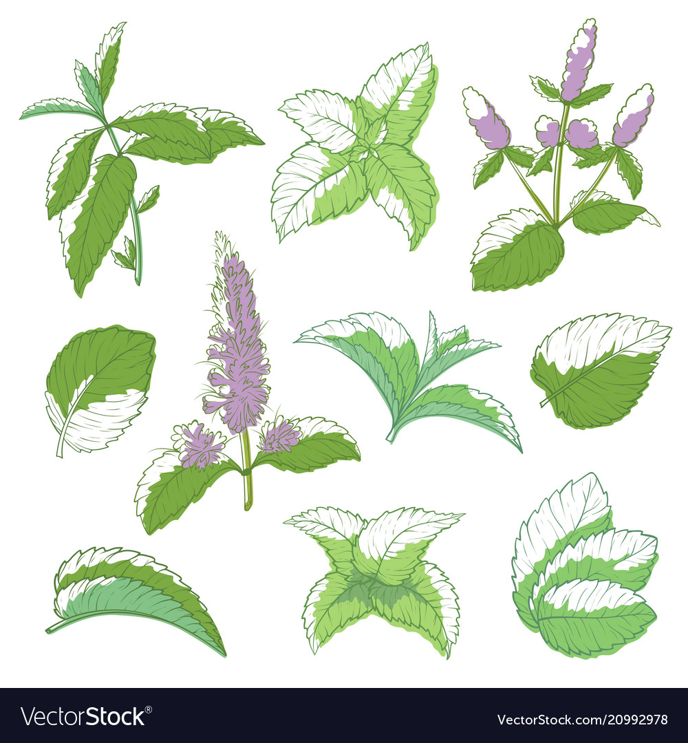 Mint leaf hand drawn set