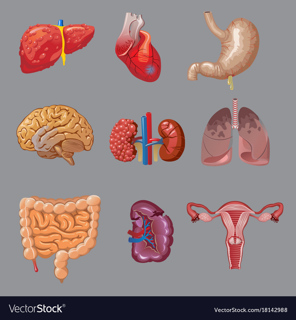 Cartoon internal human organs collection Vector Image