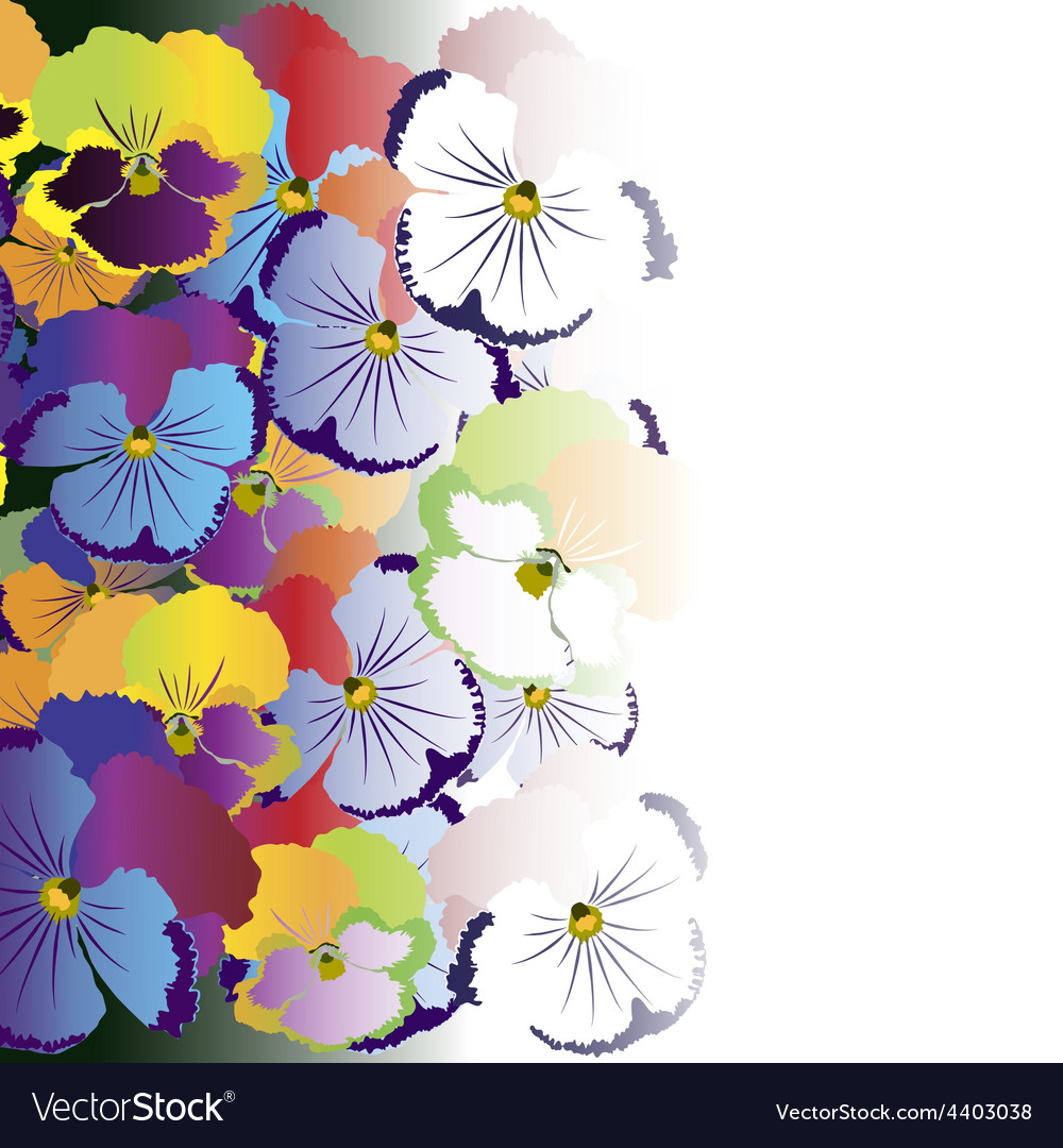 Colored Pansy Flowers On White Background Vector Image