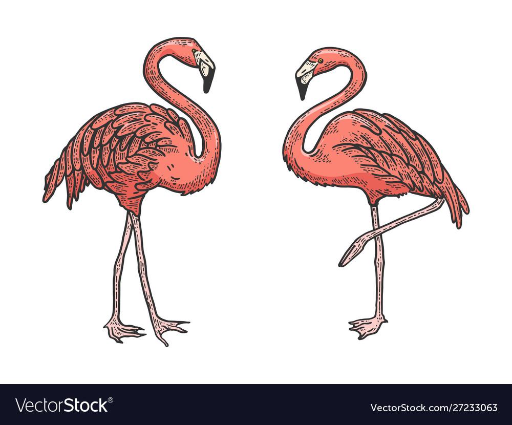Flamingo bird color sketch engraving