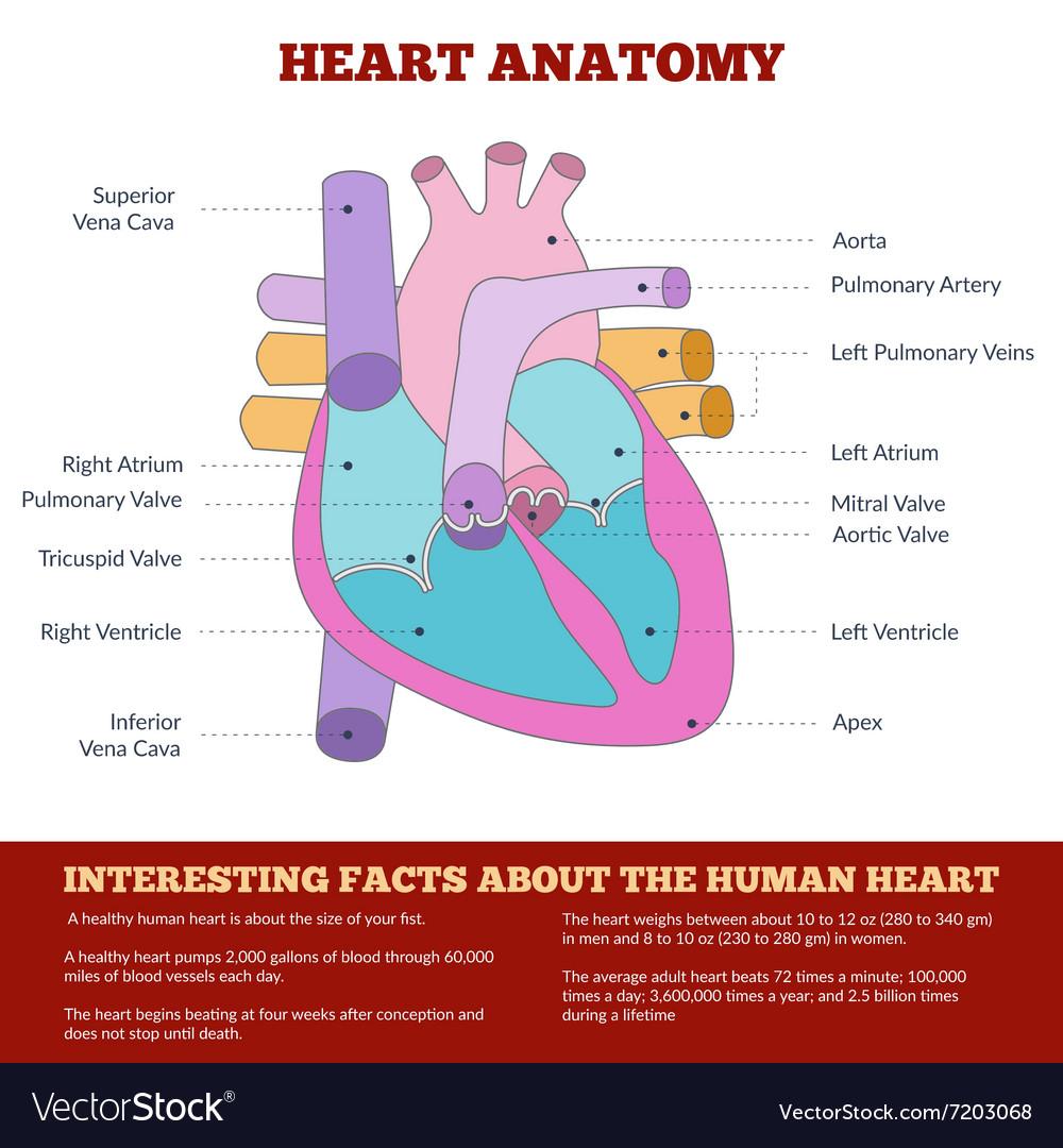 Diagram Of Human Heart Anatomy Royalty Free Vector Image