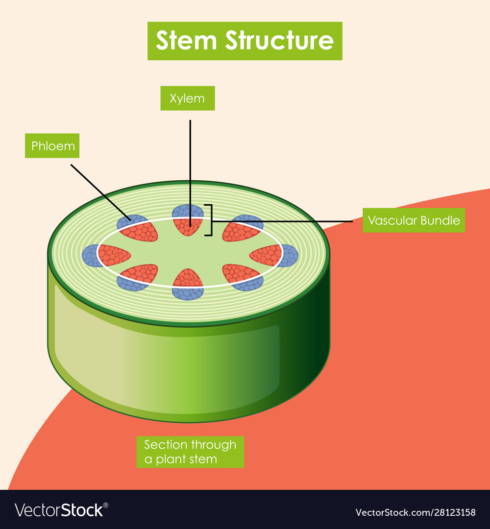 Diagram showing stem structure Royalty Free Vector Image