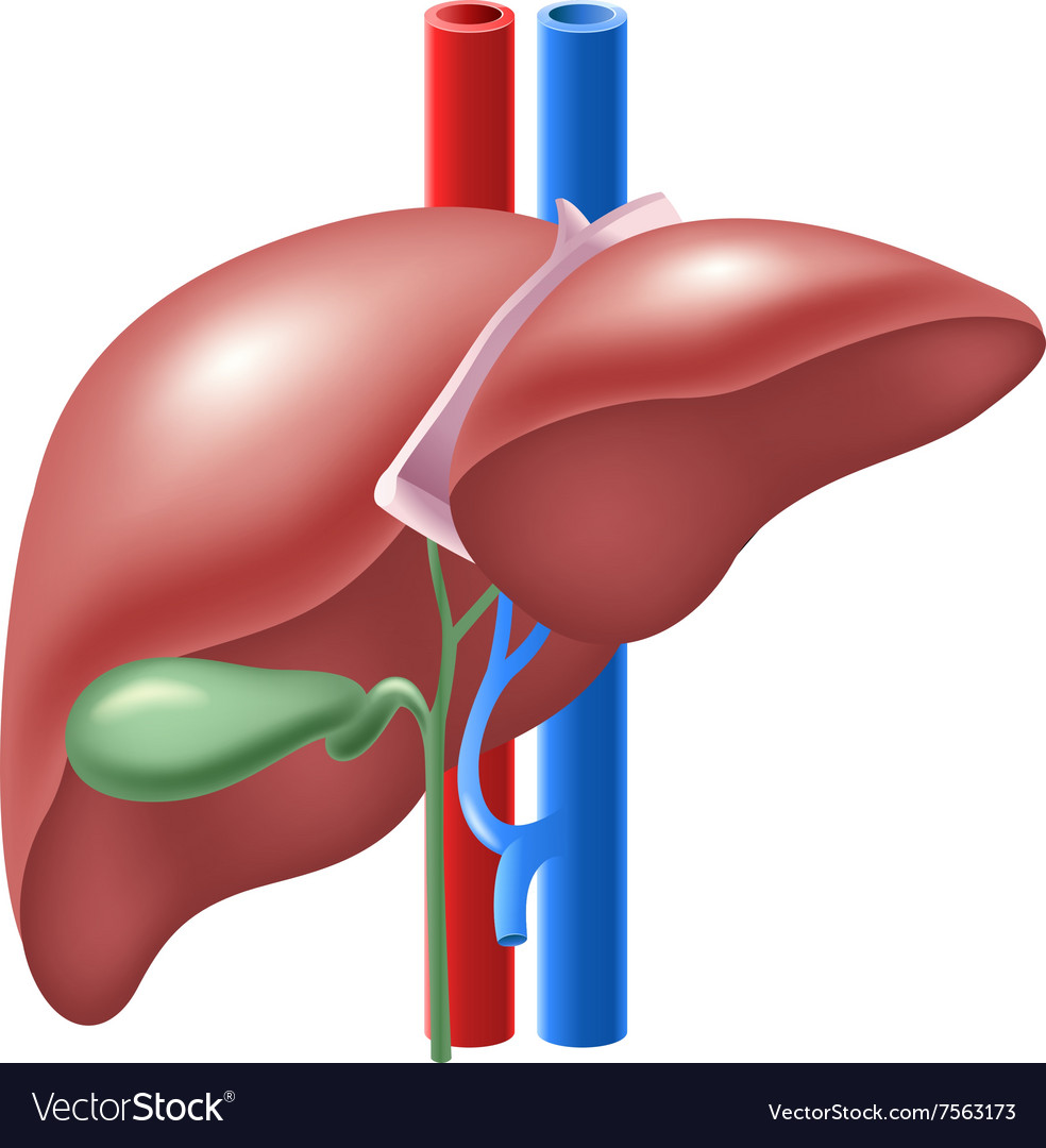 Cartoon Of Human Liver And Gallbladder Royalty Free Vector