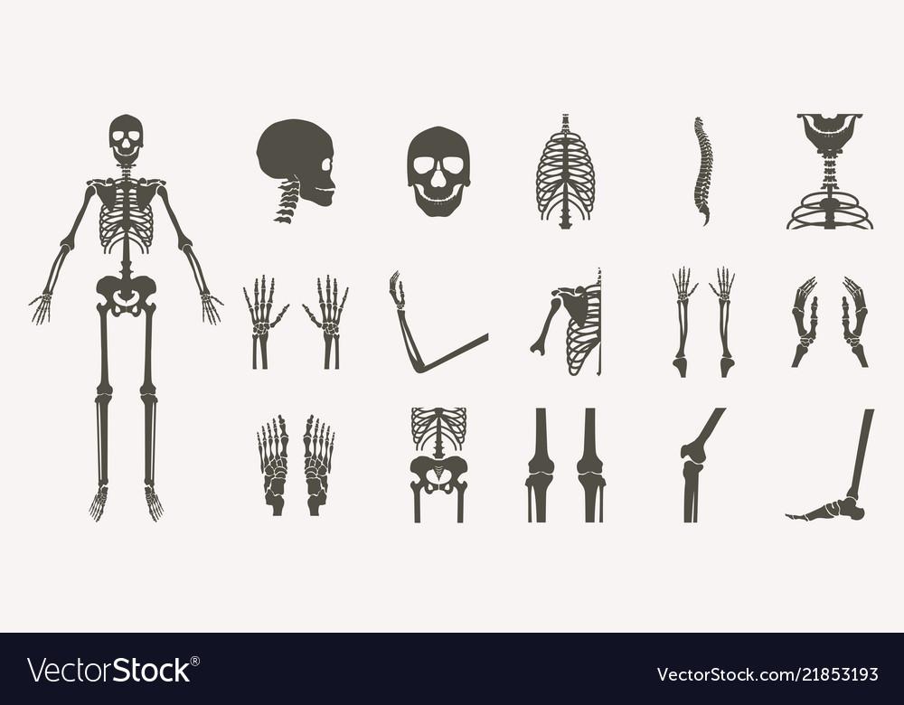 Human Bones Orthopedic And Skeleton Silhouette Vector Image
