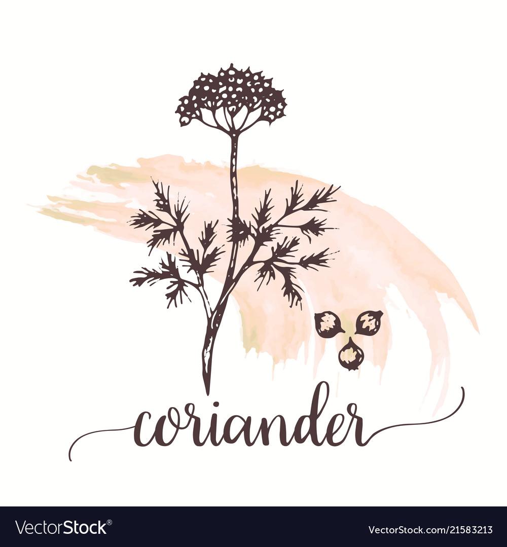 Coriander hand drawn on