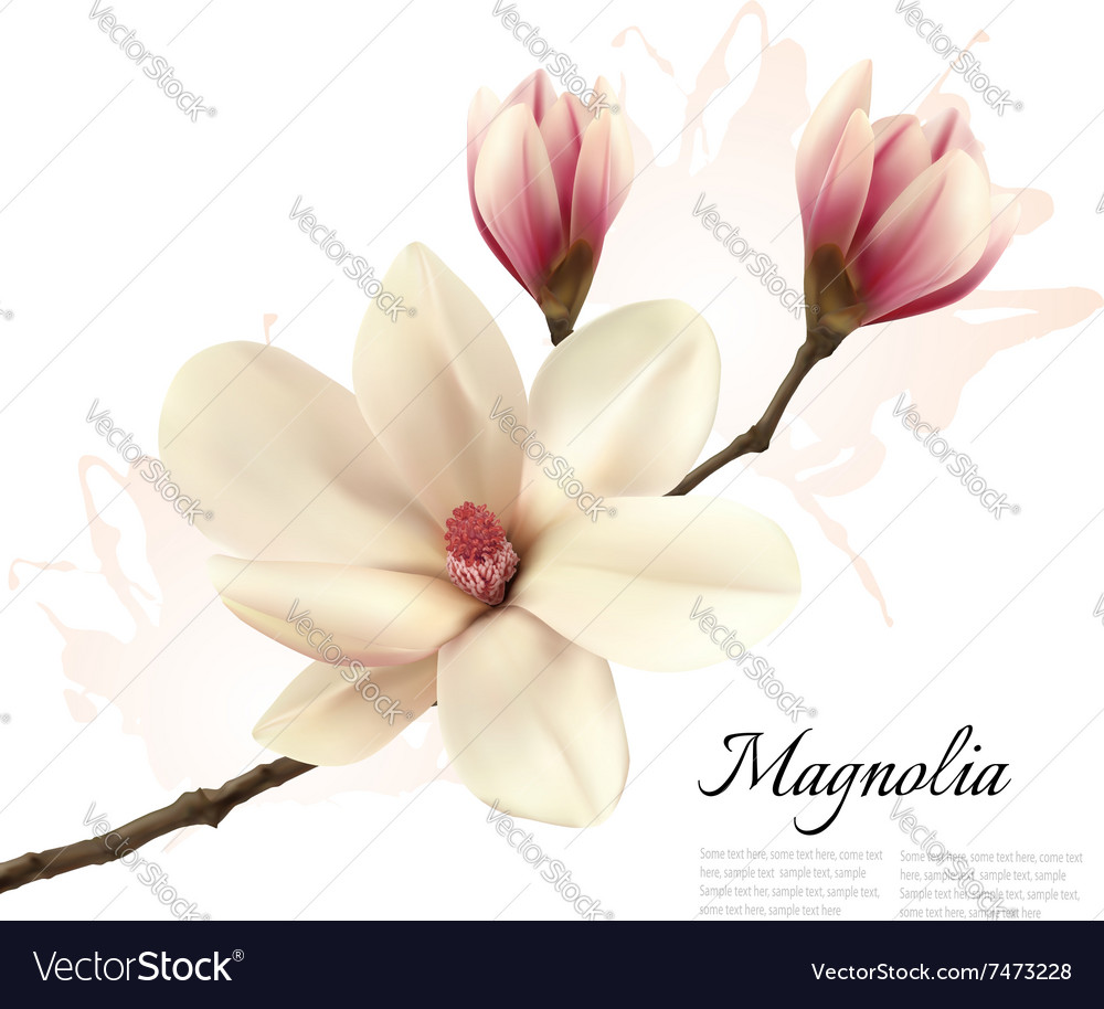Beautiful Magnolia Flower Background Royalty Free Vector