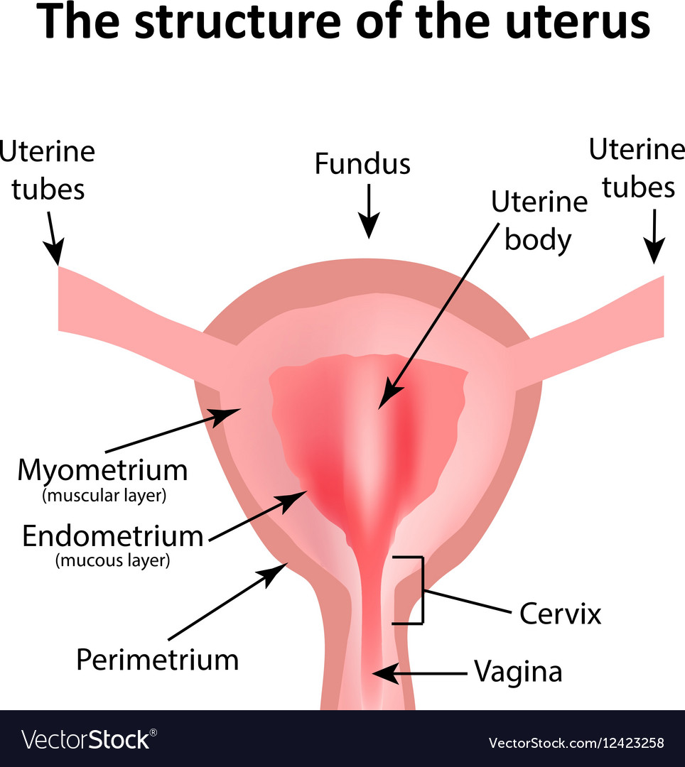 The structure of the uterus The endometrium