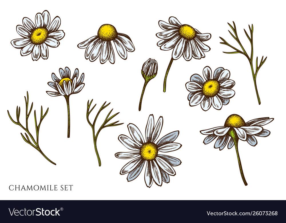 Set hand drawn colored chamomile