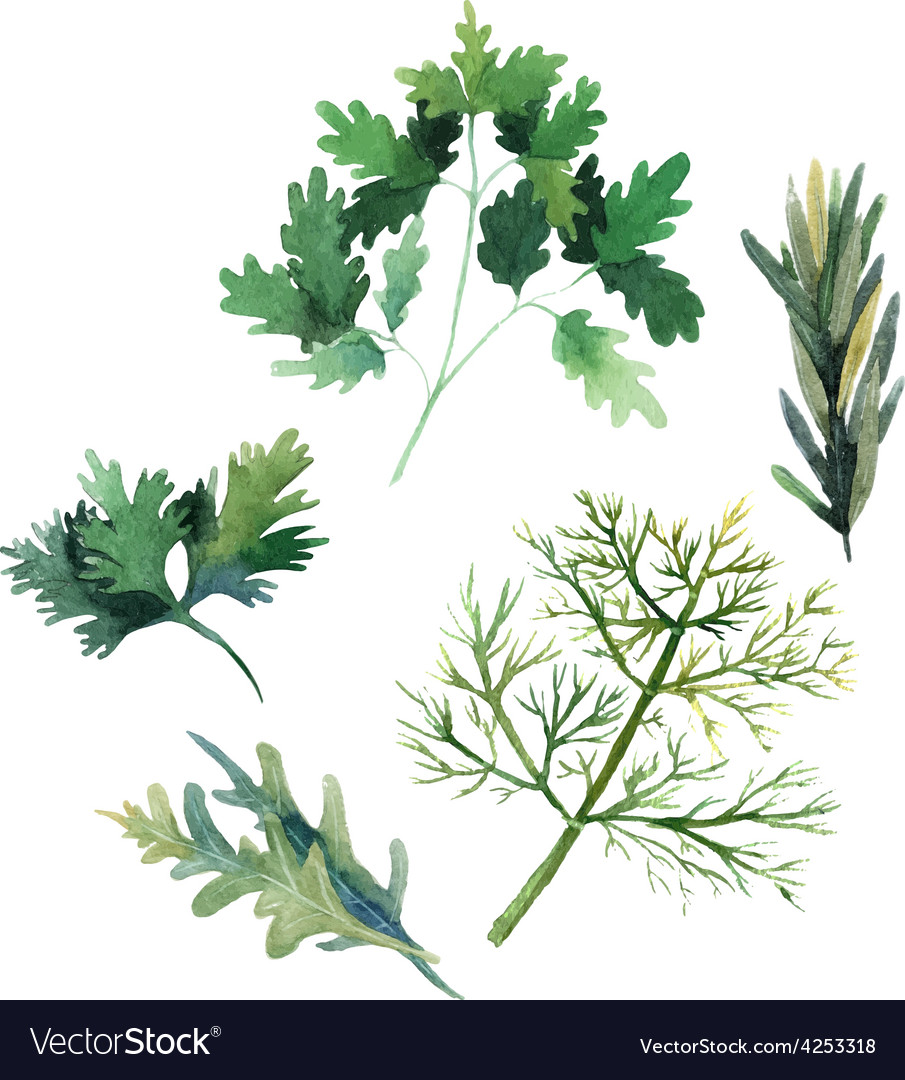 Water color herbs Fennel parsley rosemary and arug