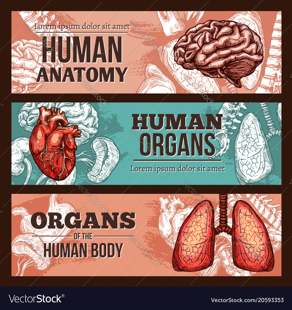 Human organ anatomy sketch banner with body parts vector image