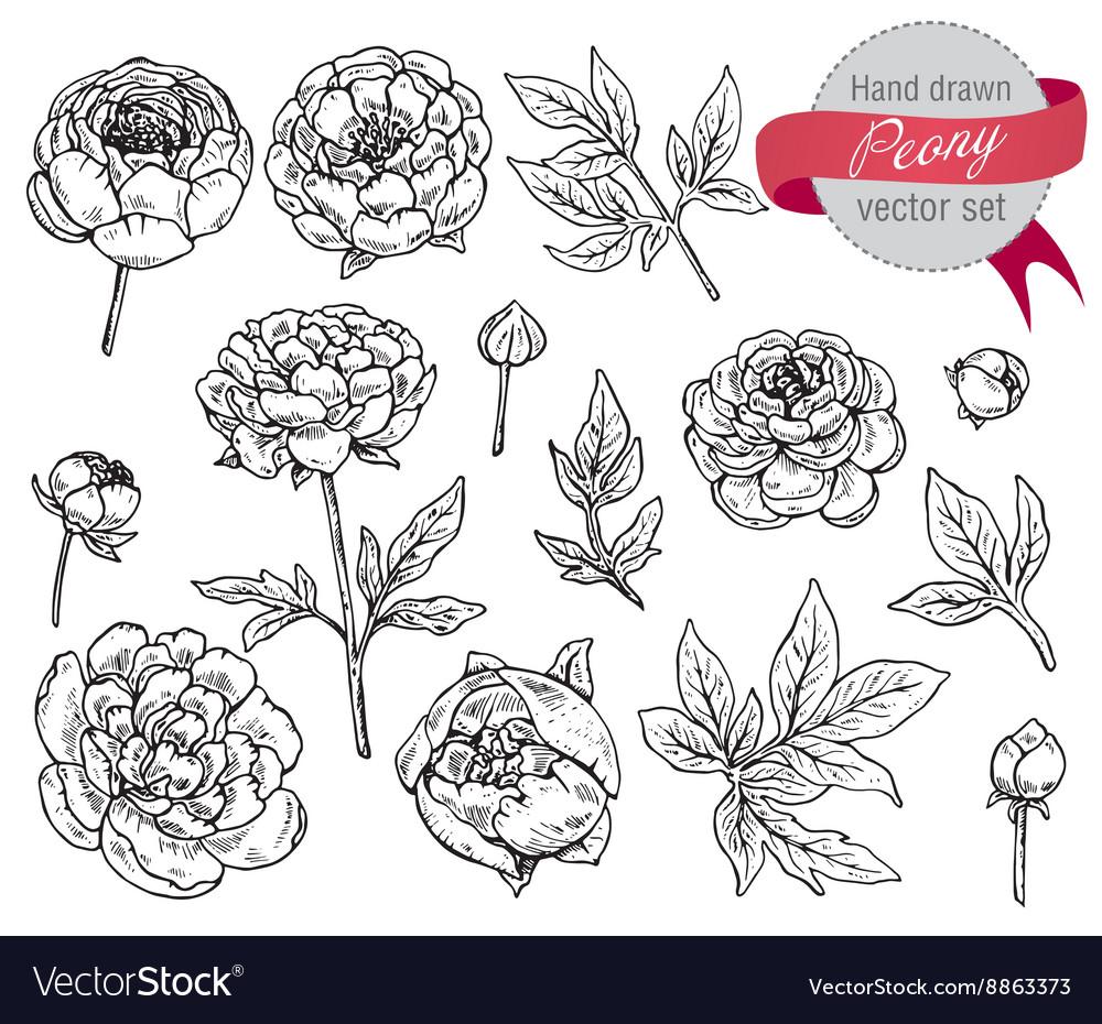 Hand drawn peony flowers set