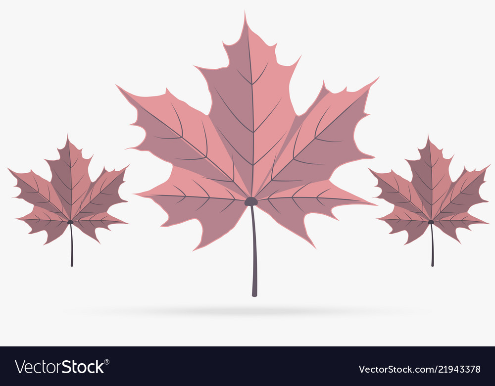 Autumn pink maple leaf fall isolated on white