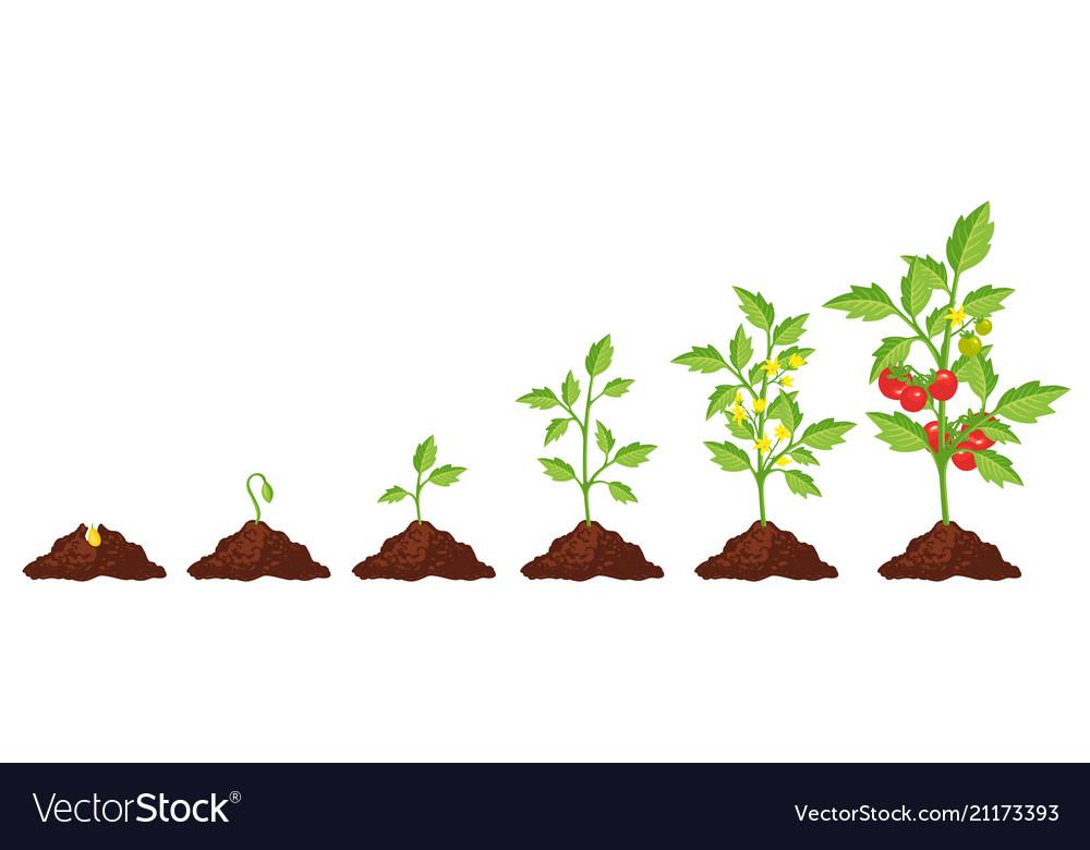 Картинка роста помидора