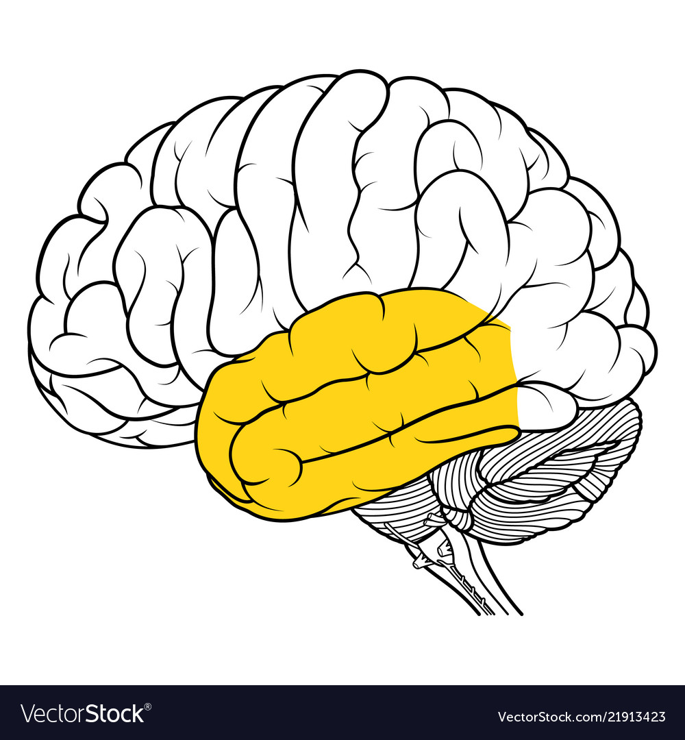 Temporal Lobe Of Human Brain Anatomy Side View Vector Image
