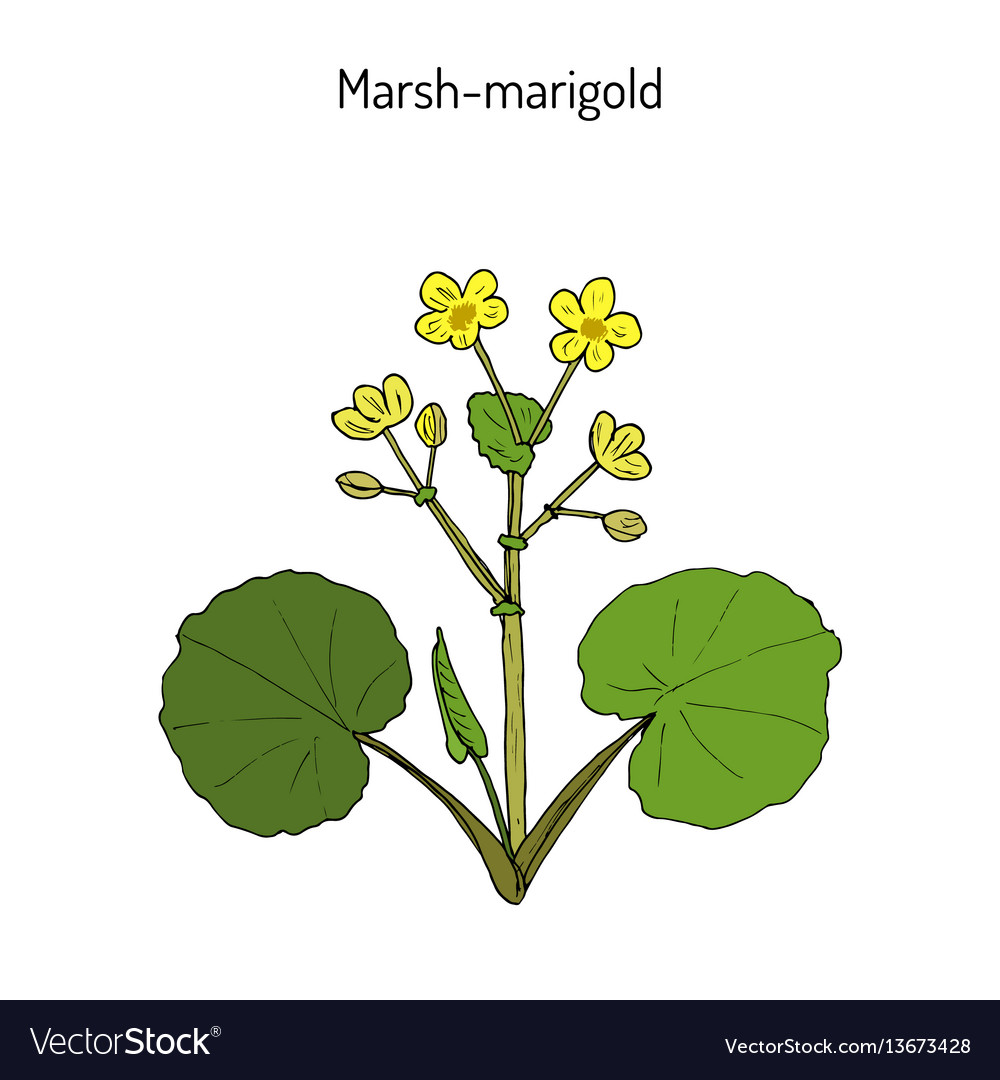 Marsh marigold or kingcup caltha palustris vector image