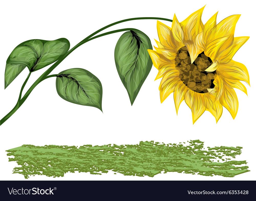 Sunflower on white