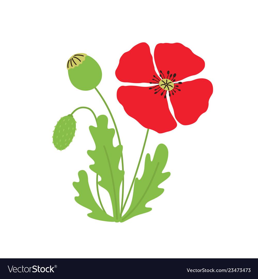 Poppy flower on white isolated