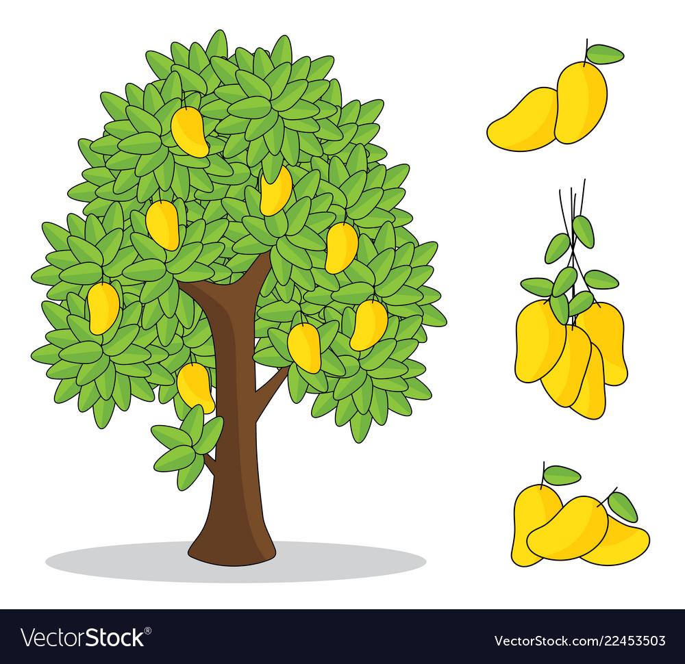 Yellow mango on tree with white background