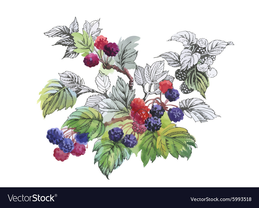 Watercolor blackberry on white background